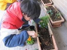 パンジーの苗を植えています